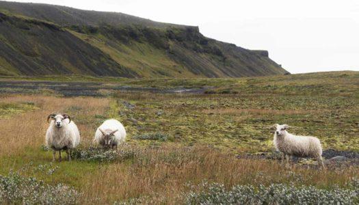El misterio de las ovejas islandesas
