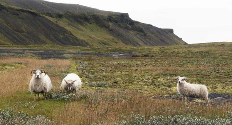 Tres ovejas vigilando su territorio