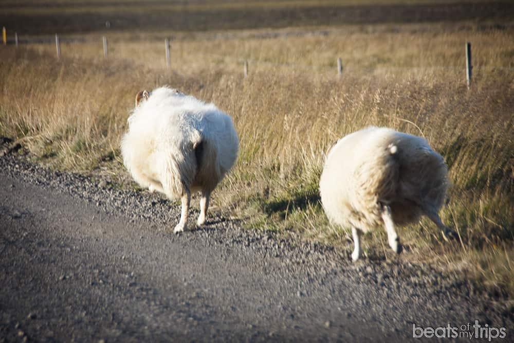 Gerduberg columnas de basalto ovejas islandesas viajar por Islandia por libre peninsula Snaefellsness