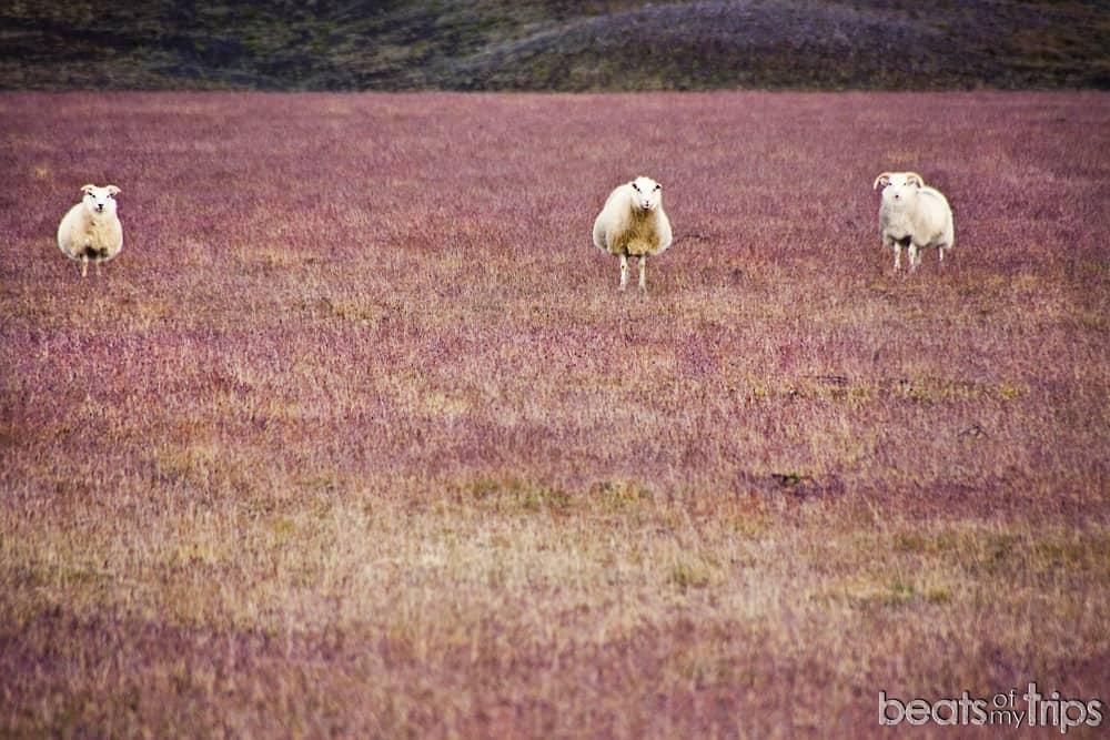 Ovejas en las Tierras Altas