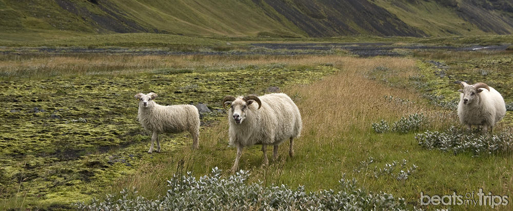 Ovejas islandesas lana merino carreteras islandia recorrer islandia coche conducir