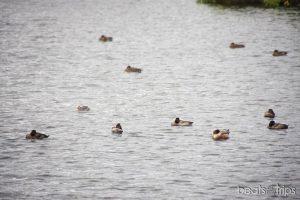 Patos descansando en el lago Myvatn