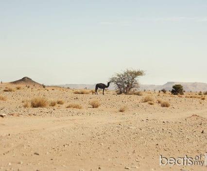 Dromedarios del Sáhara