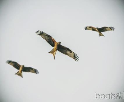 Red Kites Bwlch Nant Yr Arian Wales Gales viajar turismo naturaleza