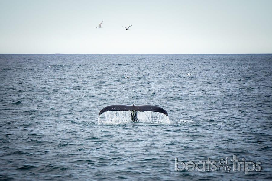 cuándo whale watching Islandia qué ver cómo excursión invierno verano