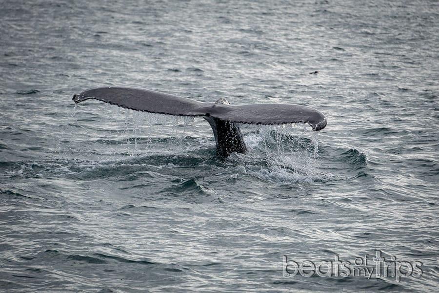 ballena frailecillos Islandia qué excursión cómo ver ballenas