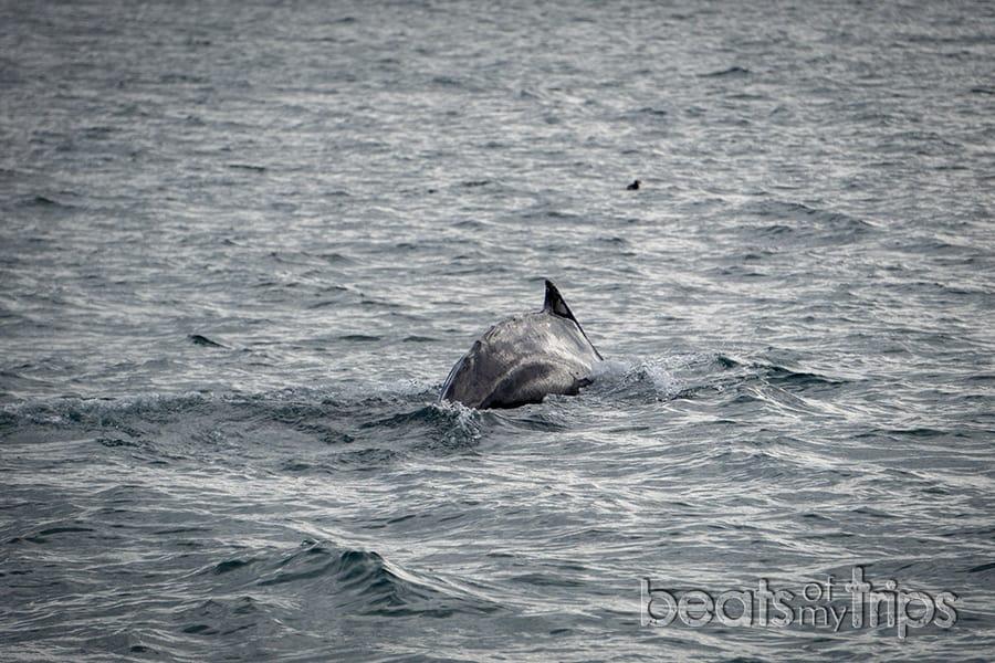 Tour avistamiento ballenas Islandia excursión