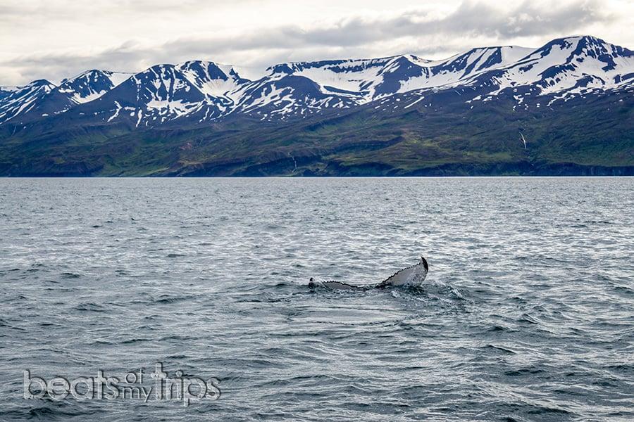 donde ver ballenas islandia Husavik Reykjavik Akureyri fiordos