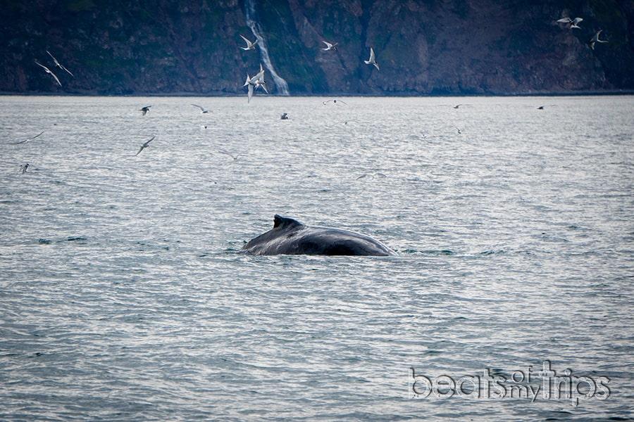 golondrina ártica artic tern Islandia excursion ballenas qué ver