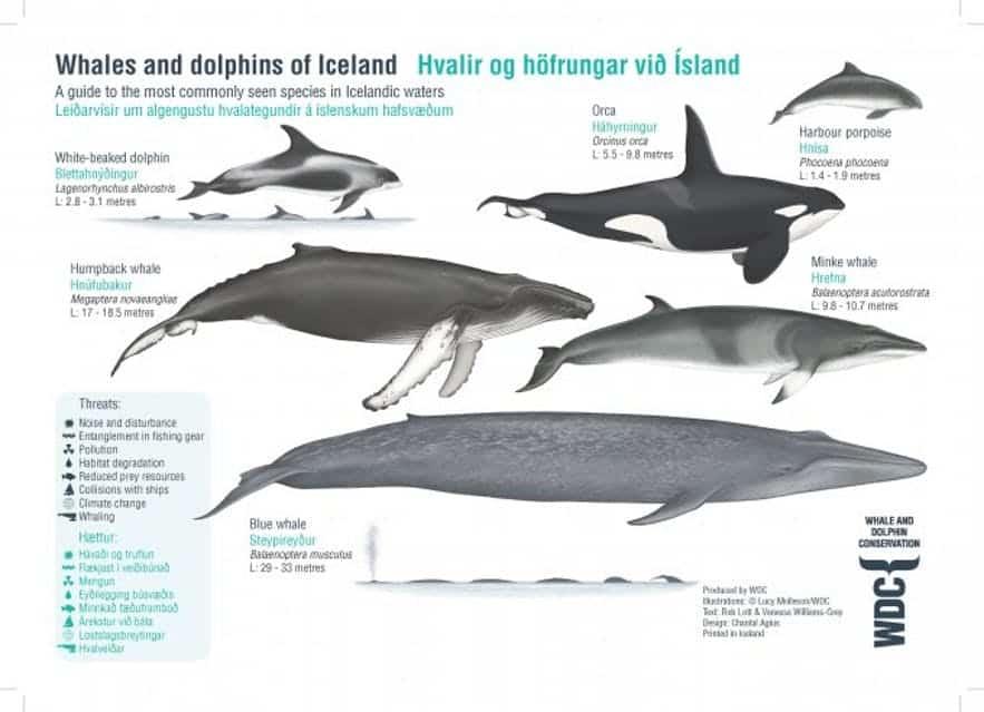 que especies mas comunes Islandia ballena azul humpback whale fin minke harbour porpoise orca